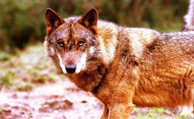 Le loup ibérique à Gerês.