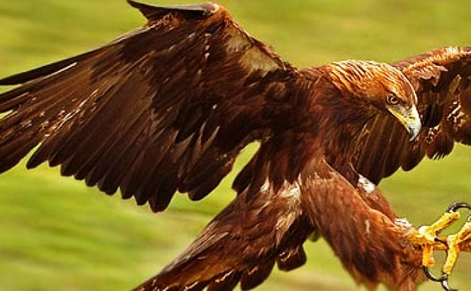 The golden eagle in Peneda-Gerês Park